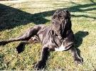 Napolitan Mastiff
