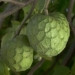Cherimoya, a fruit with many health benefits