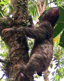 Did prehistoric sloths live up trees?