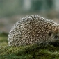 Hedge hog facts articles