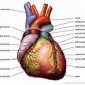 How does the heart work? articles