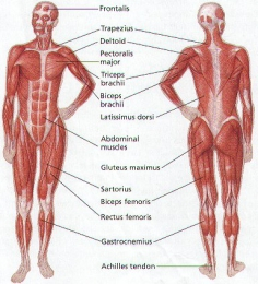 Short facts about The Human Body