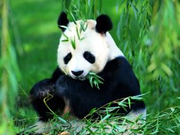 Spotting Pandas in China
