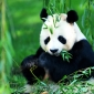 Spotting Pandas in China