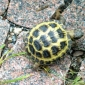 The Russian Turtle Tortoise