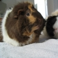Tips in Caring a Guinea Pig