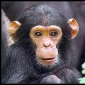 Will Chimpanzees see the next decade?